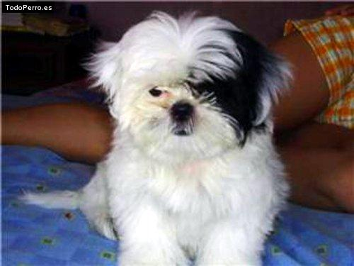 Nombre de perro chizu - Imagui