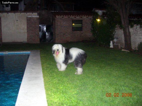 Imagenes de perros pastor ingles!