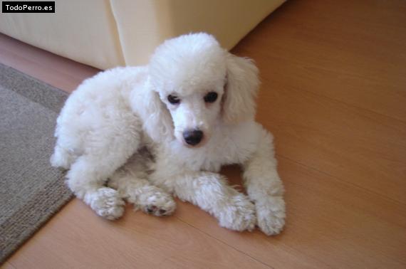 Cortes de pelo perros poodle - Imagui