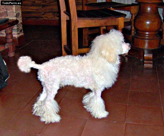 Corte de pelo de perros poodle - Imagui