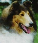 Regalo fox terrier