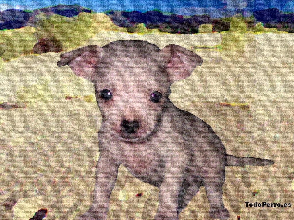 Perro Chihuahua Cabeza De Manzana - comentarios inteligentes sobre